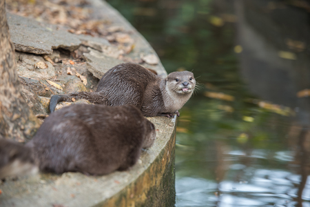 aonyx cinerea: A pair of asian small-clawed otters