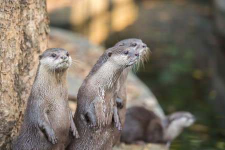aonyx cinerea: Group of asian small-clawed otters Stock Photo