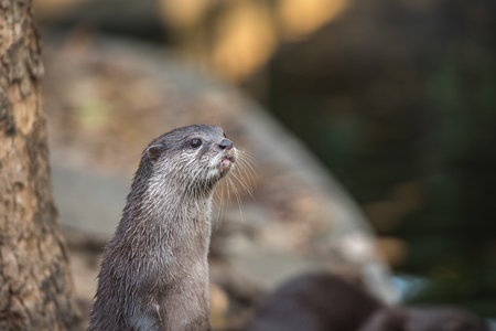aonyx cinerea: Asian small-clawed otter