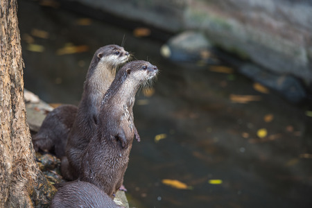 Group of asian small-clawed otters Stock Photo