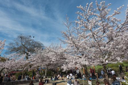 coincidir: KYOTO, JAPÓN - 5 de abril de 2016: La gente disfruta de la estación de primavera participando de los festivales de Hanami en el parque de Maruyama. Las fiestas anuales coinciden con la floración estacional de los cerezos en flor.