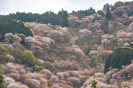 seaonal: Cherry blossom on Yoshinoyama, Nara, Japan spring landscape. Stock Photo