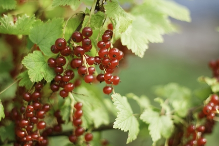 Branch of organic redcurrant growing in the garden Stock fotó - 23899883
