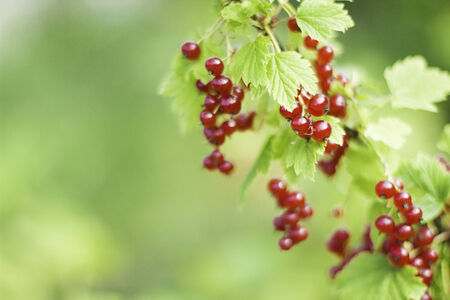 Branch of organic redcurrant growing in the garden