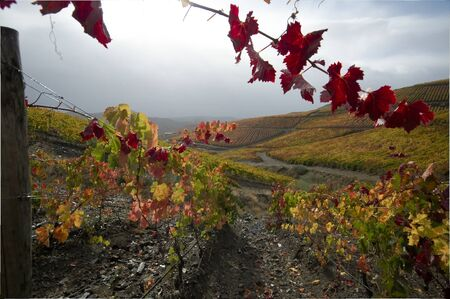 Vineyard in Douro Valley