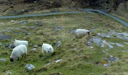 Sheep grazing at Gap of Dunloe, Ireland photo