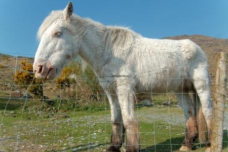 White horse at Irish farm Stock Photo