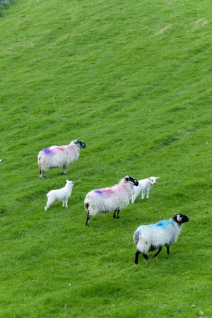 sheep grazing at the Irish countryside photo