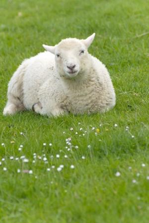 Irlandés ovejas pastando en la Irlanda rural