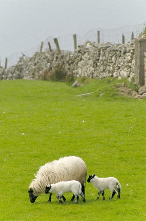 grazing land: Irish sheep grazing at rural Ireland