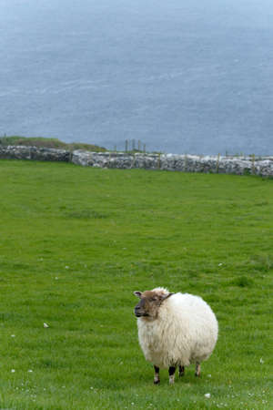 Irish sheep grazing at rural Ireland photo