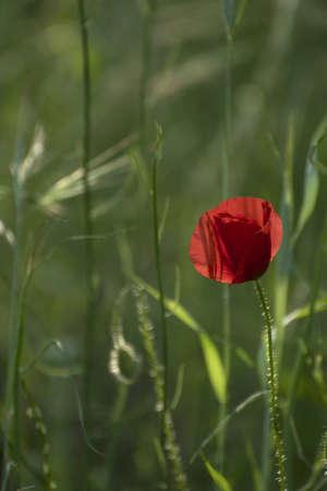 Coquelicots sur une verte prairie photo