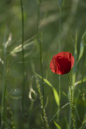 Poppies on a green meadow photo