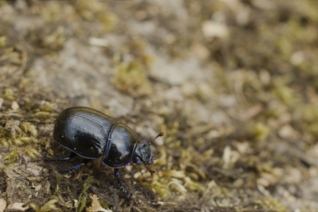 geotrupes: Dor Beetle on a forest at Dartmoor Stock Photo