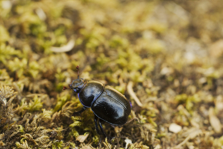 Dor Beetle on a forest at Dartmoor Stock Photo