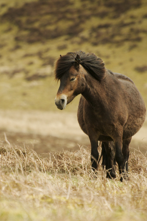 Pony at the moors of Exmoor national park