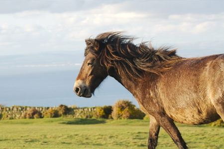 devon: Pony at the moors of Exmoor national park