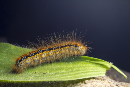The caterpillar larva