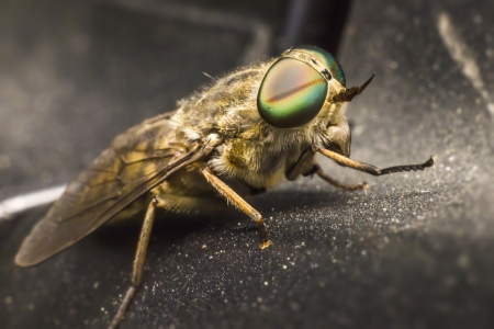 horsefly: Portrait of a Horse-fly