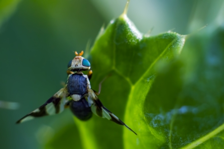 well behaved: Portrait of a blue eyed fly Stock Photo