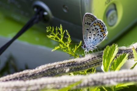 rott: Retrato de una mariposa Polyommatus Icarus Rott