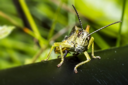 jeopardy: Portrait of a grasshopper Stock Photo