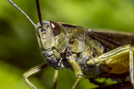 well behaved: Portrait of a grasshopper Stock Photo