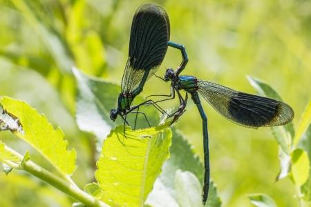 esplicito: La Demoiselle legato Calopteryx splendens Archivio Fotografico