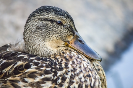 well behaved: Portrait of a duck Stock Photo