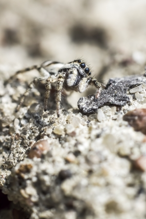 well behaved: The zebra spider, Salticus scenicus,