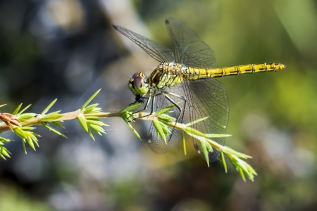 well behaved: The yellow-winged darter  Sympetrum flaveolum