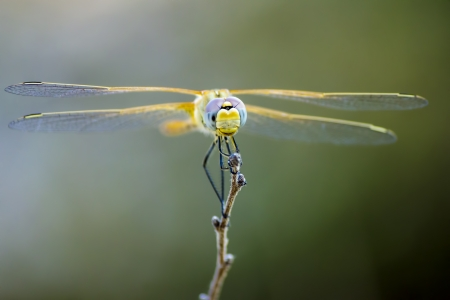 Portrait of a Scarlet Darter  Crocothemis erythraea  photo