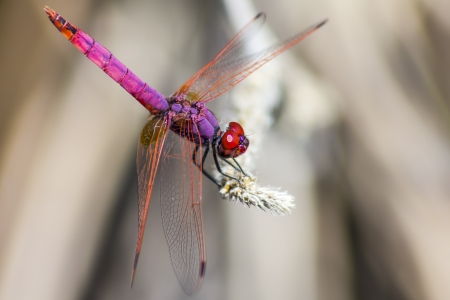 The Violet Dropwing  Trithemis annulata  Stock Photo