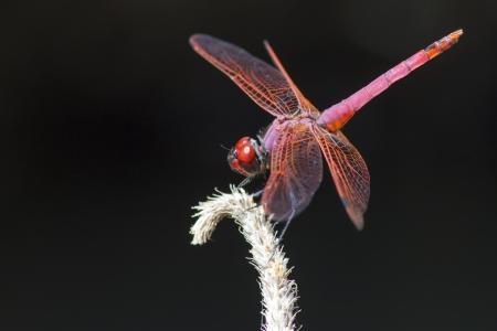 dropwing: The Violet Dropwing  Trithemis annulata  Stock Photo