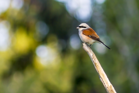 The Red-backed Shrike  Lanius collurio  photo