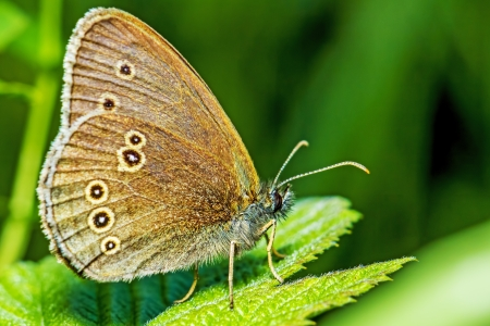Portrait of a common forest butterfly photo