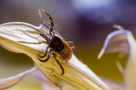 The Wood Tick Ixodidae