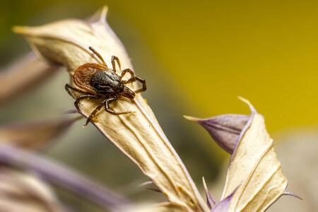 The Wood Tick   Ixodidae  Фото со стока