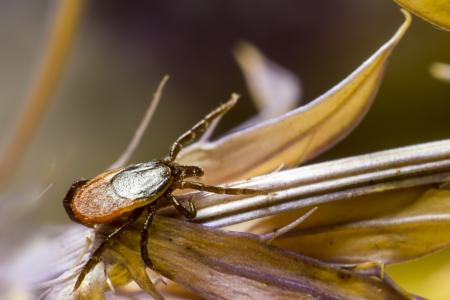 wood tick: The Wood Tick   Ixodidae  Stock Photo