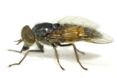 Portrait of a Horse-fly photo