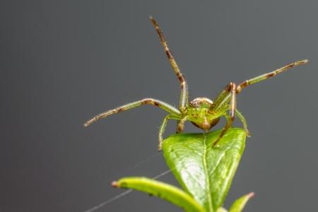 dorsata: Green Crab Spider  Diaea dorsata