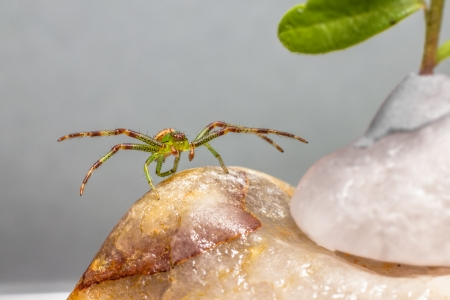 Green Crab Spider  Diaea dorsata  photo