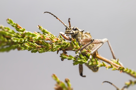 blackspotted: The  blackspotted pliers support beetle, Rhagium mordax,