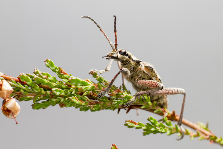The  blackspotted pliers support beetle, Rhagium mordax,