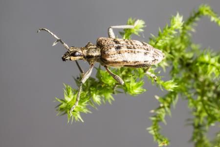 rhagium: The  blackspotted pliers support beetle, Rhagium mordax,