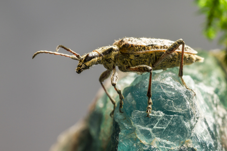 blackspotted: The blackspotted pliers support beetle, Rhagium mordax