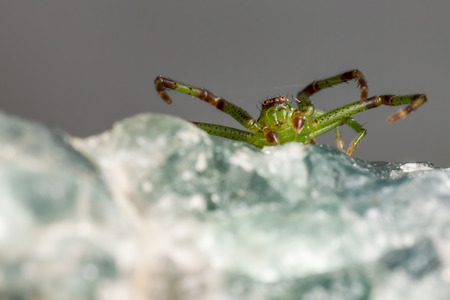 The Green Crab Spider,   Diaea dorsata  photo