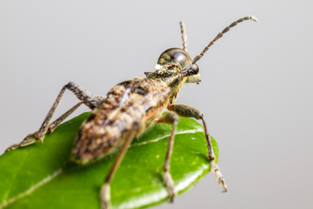 The blackspotted pliers support beetle  Rhagium mordax  Stock Photo