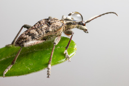 blackspotted: The blackspotted pliers support beetle  Rhagium mordax  Stock Photo