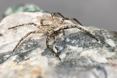 philodromus: The Lichen Running Spider  Philodromus margaritatus